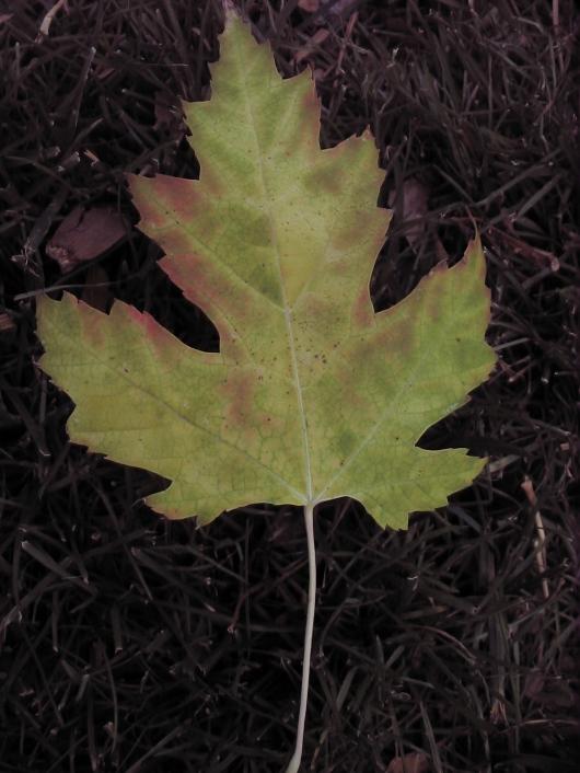 a vocal leaf