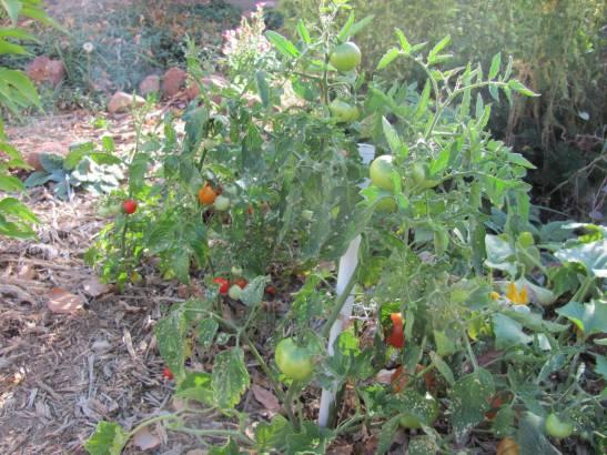 tomatoes 2010